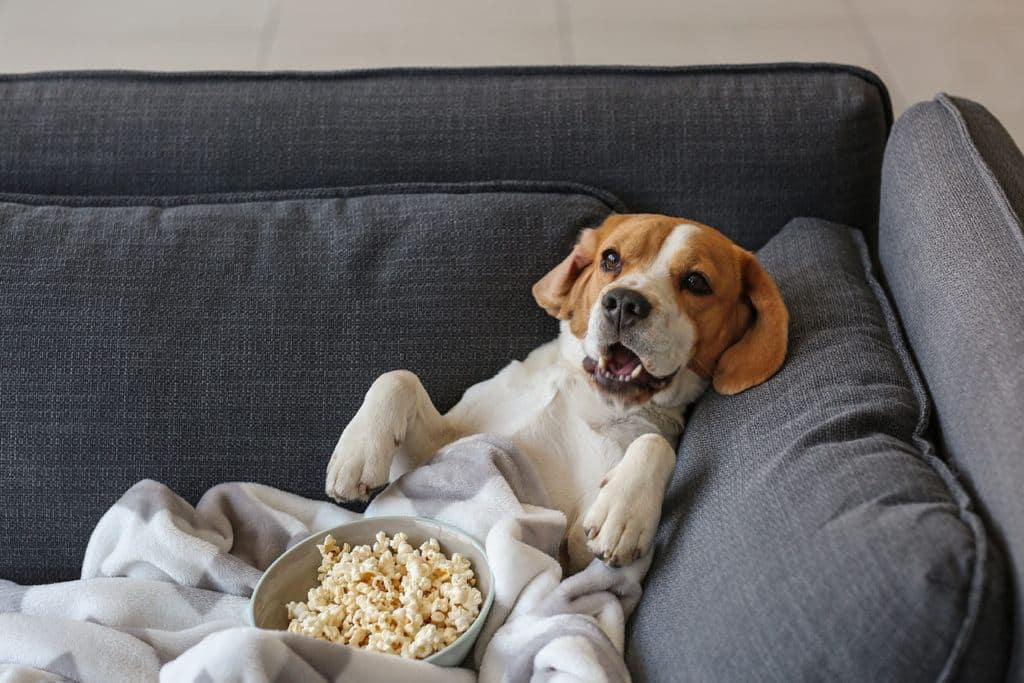 dog on couch eating popcorn