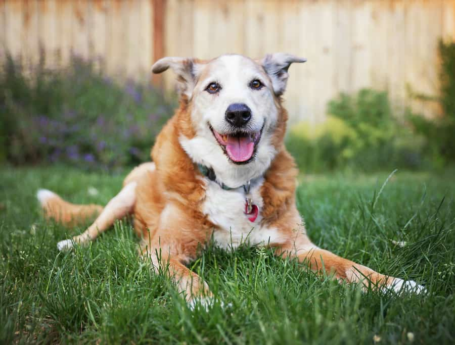 old dog laying on the grass