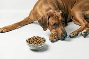 dog looking at food bowl not eating