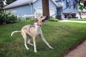 dog biting on leash on a walk