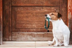 dog holding collar in his mouth