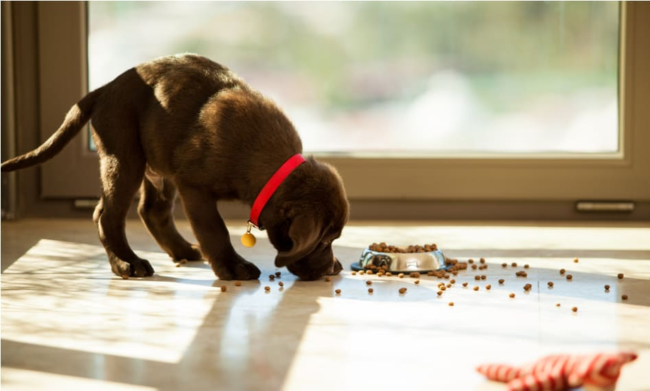 skinny puppy eating food