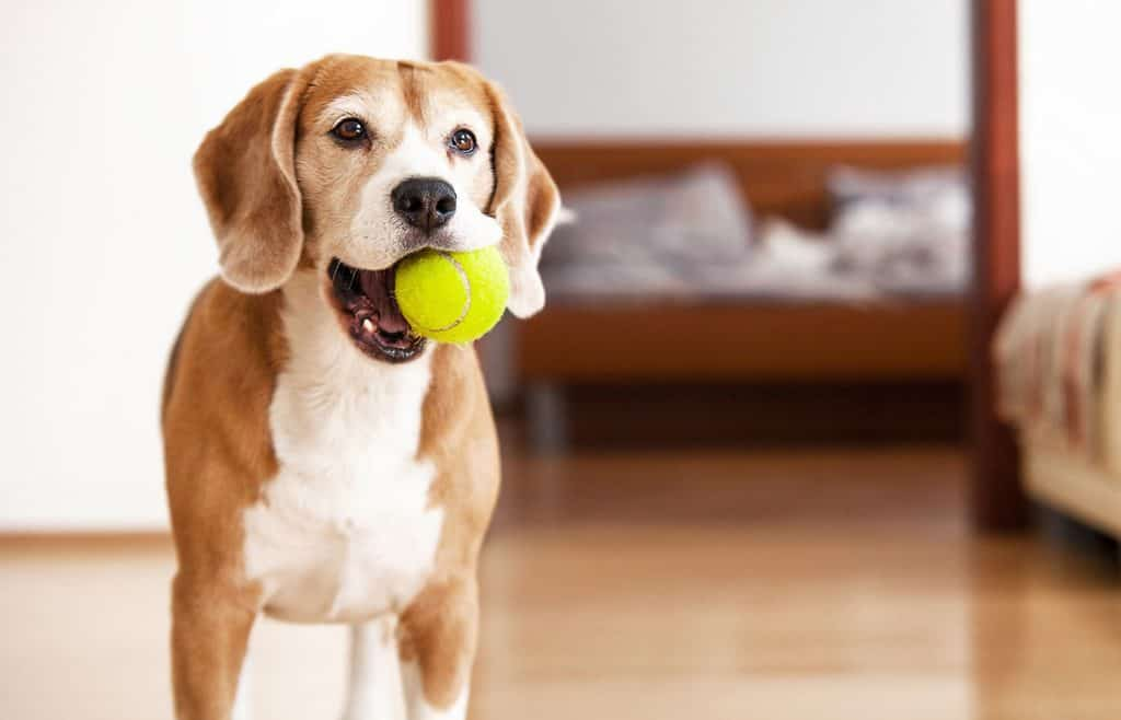 dog chewing on a tennis ball