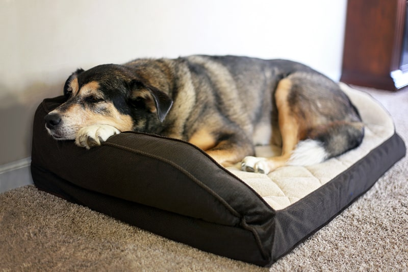 dog laying on bed from cramps