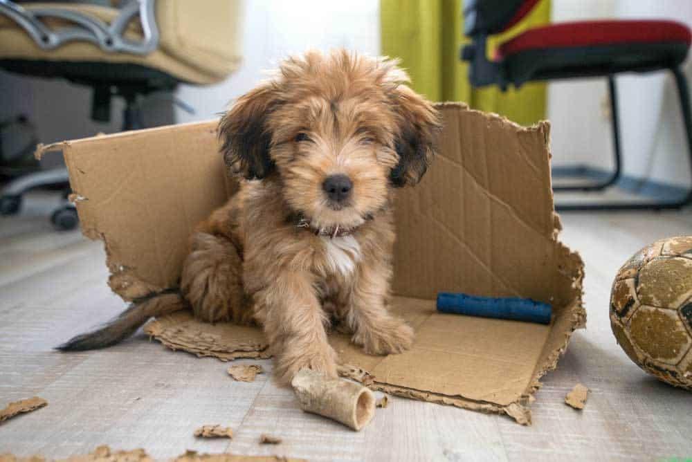 puppy eating a cardboard box