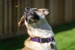 dog snapping at a bee