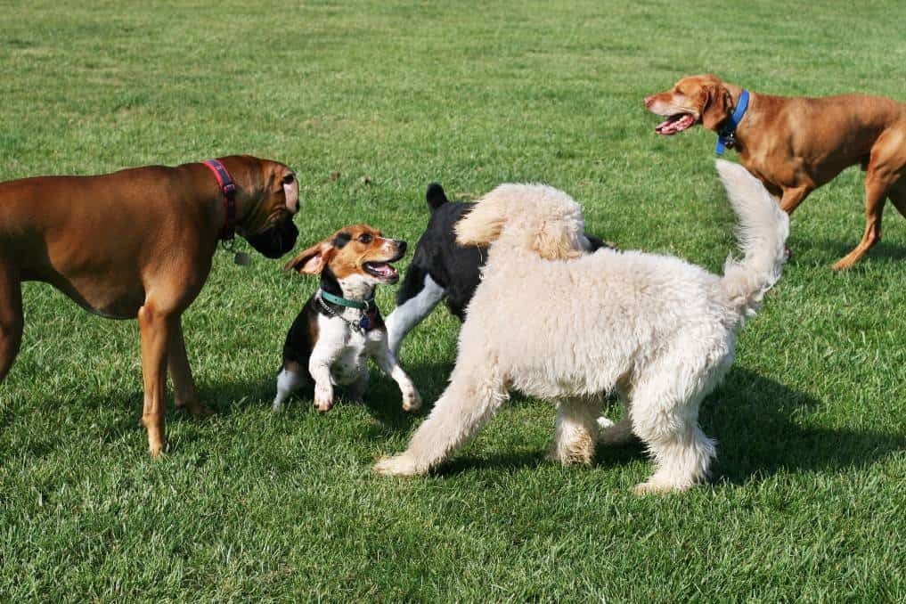 male dogs in a dog park playing