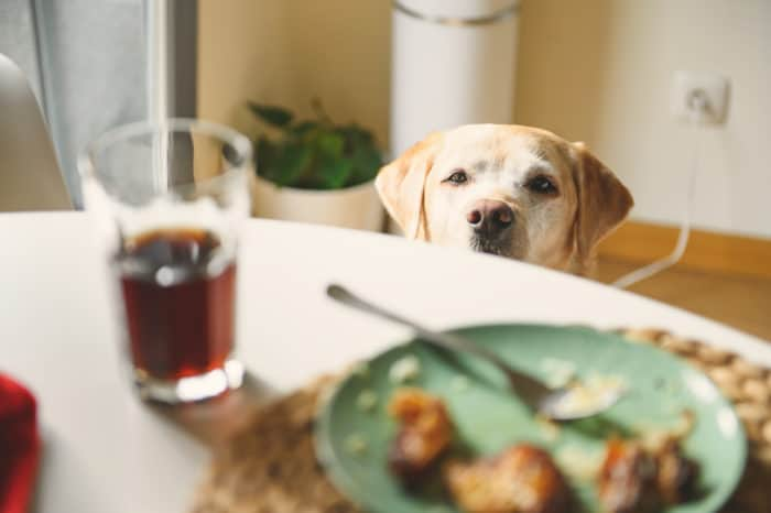 dog looking at chicken on a plate