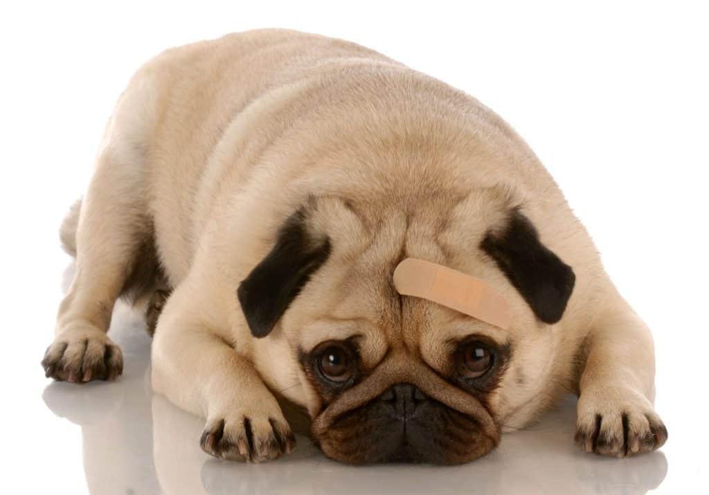 dog with baindaid on head
