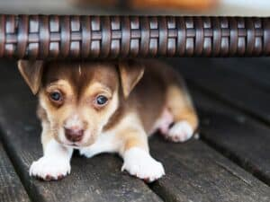 puppy hiding from owner