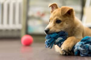 puppy playing with a toy