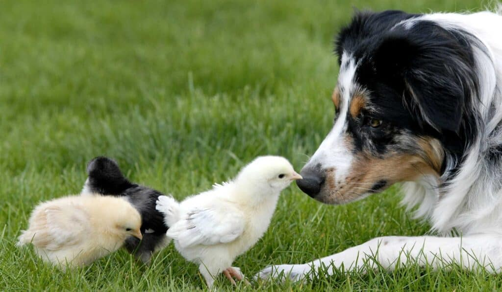 dog playing with chickens