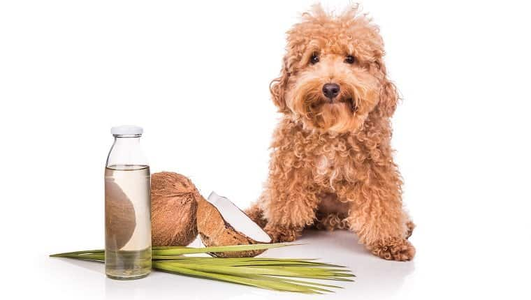 dog sitting by coconut oil