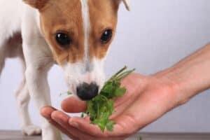 dog sniffing parsley
