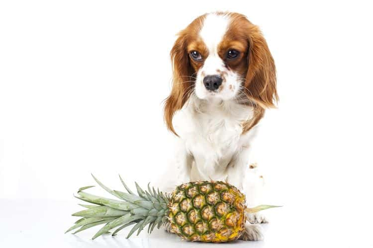 dog standing over a pineapple
