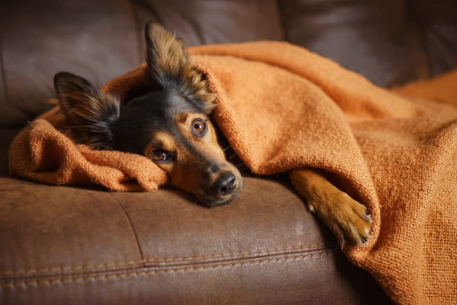 dog resting on couch feeling ill